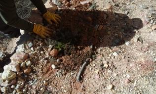 Plantación de tomillos procedentes del sendero