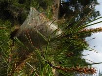 1128_Thaumetopoea pityocampa Procesionaria del pino